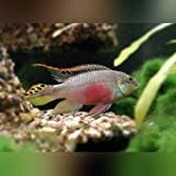 Kribensis Cichlid - Live Aquarium Tropical Fish