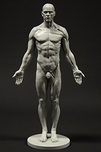 Male Anatomy Figure: 11-inch Anatomical Reference for Artists (Grey)