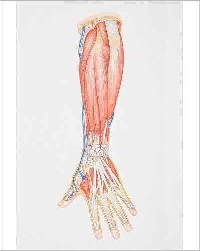 Photographic Print of Diagram illustrating lower arm muscle groups, nerves and - Diagram Anatomy Arm