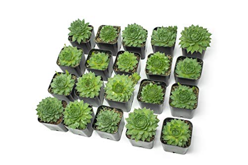 Fractal Succulents (20 Pack) Live Sempervivum Houseleek Succulent Rooted in Pots | Flowering Plant Leaves / Geometric Rosettes by Plants for Pets by Plants for Pets (Image #11)