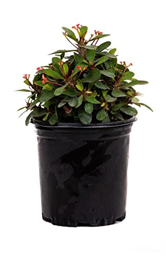 "AMERICAN PLANT EXCHANGE Dwarf Crown of Thorns Live Plant, 6"" Pot, Red Flowers"