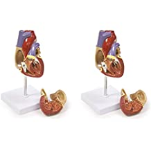 Walter Products B10405A Human Heart Model, Life Size, 2 Parts, 4.5 x 3 x 3 Inches