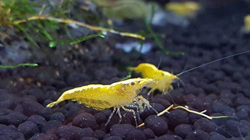 Siam Live Aquarium Golden Back Yellow Shrimp (Neocaridina davidi) - 1/2'' to 3/4'' by Aquatic Arts by Siam Live Aquarium (Image #2)