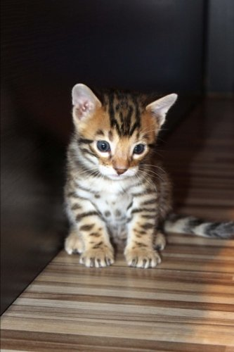 Bengal Kitten Cat Journal: 150 Page Lined Notebook/Diary