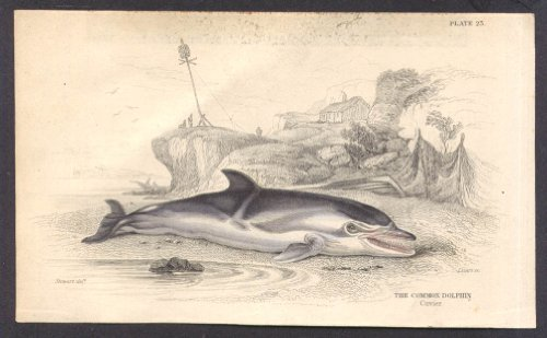 Common Dolphin [after Cuvier] hand-colored engraving by Stewart ca ()