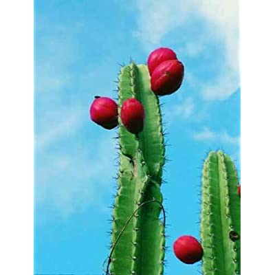 AchmadAnam - Live Plant - Cactus Mandacaru 3'' to 5'' (Cereus jamacaru) : Garden & Outdoor