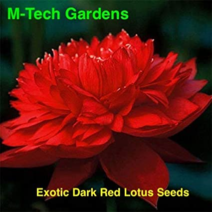 M Tech Gardens Aiden Primrose Garden Nelumbo Nucifera Lotus Flowers