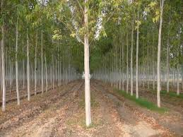 Tree Seeds : Brown Salwood -Mangium Seeds - 50 Seeds For Growing By Creative Farmer