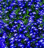 The Dirty Gardener Lobelia Erinus Half Moon Flowers - 1,000 Seeds