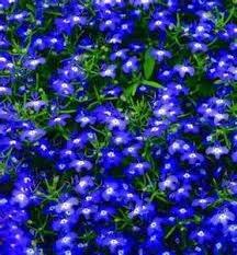 The Dirty Gardener Lobelia Erinus Half Moon Flowers 1 000 Seeds