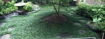Classy Groundcovers, Dwarf Mondo Grass Dwarf Lilyturf, Monkey Grass, Kyoto (50 Bare Root Plants)