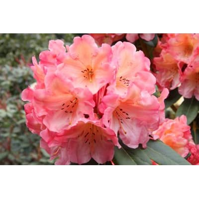 """Rhododendron Honey Butter - Orangey Yellow Bloom Faded to Muted Pink on Outer Edge- Grows Five Feet Tall (15"""" to 21"""" Wide Plant – Typically Five Gallon) : Garden & Outdoor"""