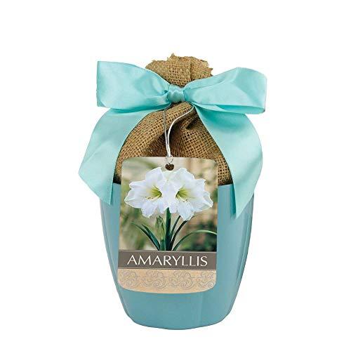 Athene Amaryllis in Blue Ceramic Planter