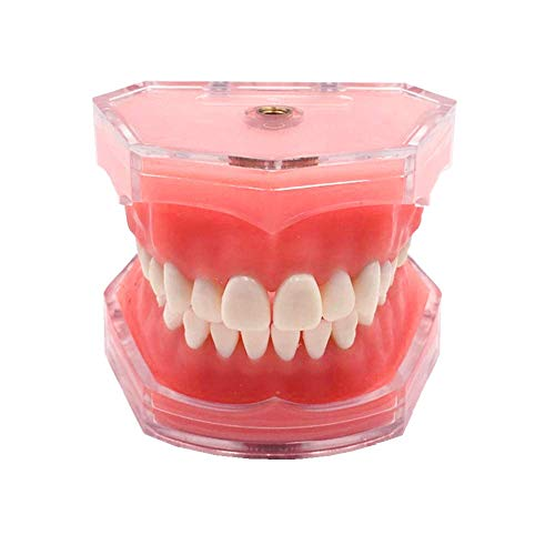 Standard Dental Demonstration, YOUYA DENTAL Teeth Model Teaching Model Study Tool Soft Gums Teaching Dental Mode with 28 Removable Teeth
