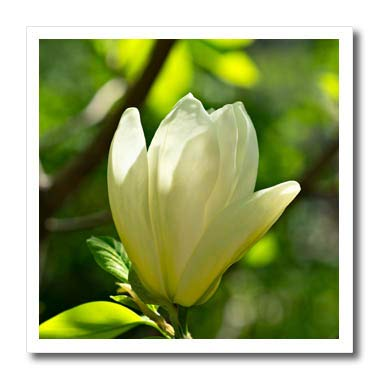 Amazon 3drose alexis photography flowers magnolia white 3drose alexis photography flowers magnolia white magnolia flower green background play of mightylinksfo