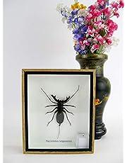 asiahouse24 Gijzelaar Corpion (Hypocnotus rangunensis) - Echte gigantische en exotische insecten in 3D Display Box - Houten Frame - Taxidermie