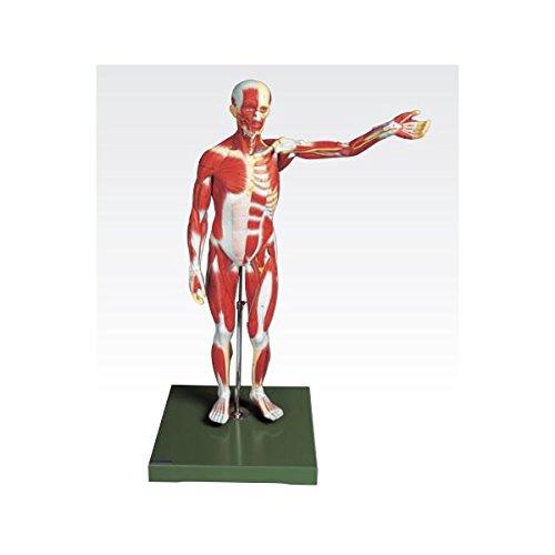 人体筋肉模型 (3分解) 右腕左腕とりはずし可 J-111-3   B077JG517J
