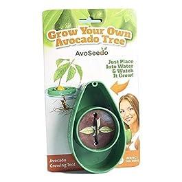 Pflanzen Sie Ihren Eigenen Avocadobaum