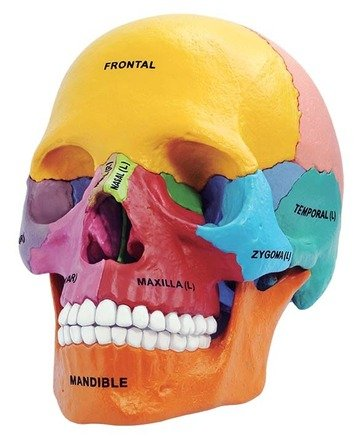Tedco Toys 26087 4D Anatomy Didactic Exploded Skull Model (Skull Model Together)
