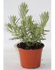 Lavanda dentata (Maceta 10,5 cm Ø) - Planta viva - Planta aromatica