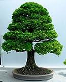 15 Seeds Chamaecyparis Obtusa (Hinoki Cypress) Bonsai