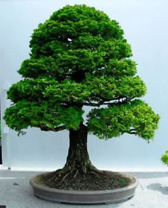Hinoki Cypress Bonsai (seedusa 15 Seeds Chamaecyparis Obtusa (Hinoki Cypress) Bonsai)