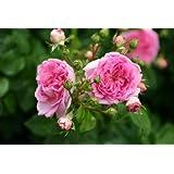 Jasmina® - Container Rose im 5 ltr. Topf
