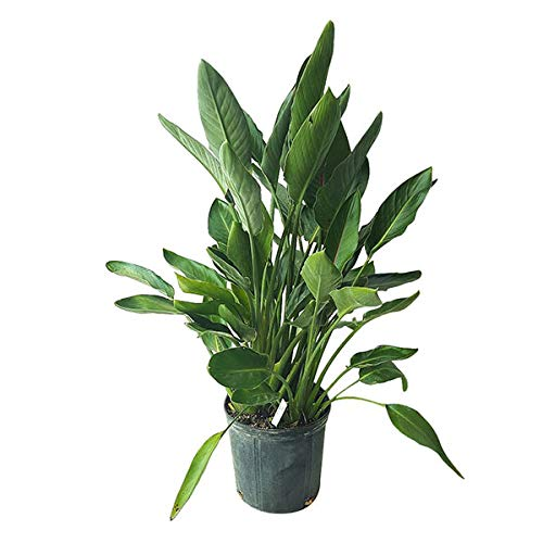 PlantVine Strelitzia Reginae, Orange Bird of Paradise, Crane Flower - Large - 8-10 Inch Pot (3 Gallon), Live Indoor Plant