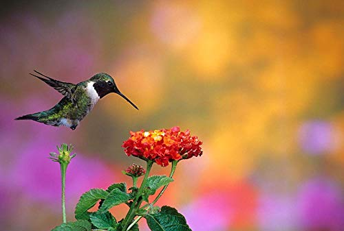 Ruby-Throated Hummingbird at Dallas Red Lantana by Richard & Susan Day/DanitaDelimont Art Print, 12 x 8 ()