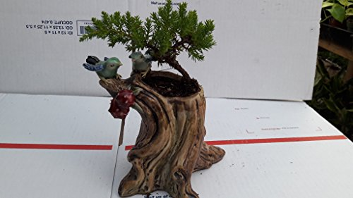 bonsai tree - potted in a bird ceramic 5'' pot
