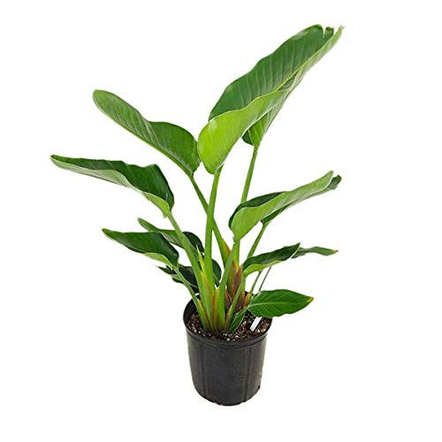 Strelitzia nicolai, White Bird of Paradise - 3 Gallon Live Plant ()