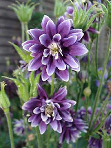 - Seeds ancolie Nora Barlow or Columbine Columbine