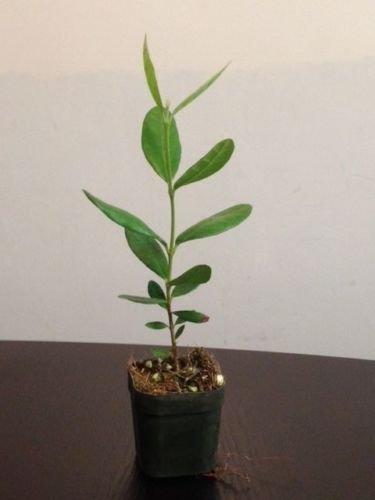 2 Pineapple Guava Fruit Tree, Live Plant, Feijoa sellowiana, Evergreen