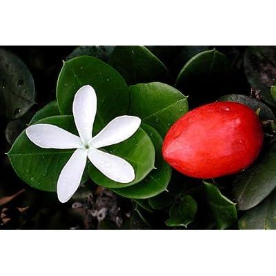 Natal Plum, Carissa macrocarpa, (Carissa grandiflora), Shrub Seeds (Fast Edible) (15) : Garden & Outdoor