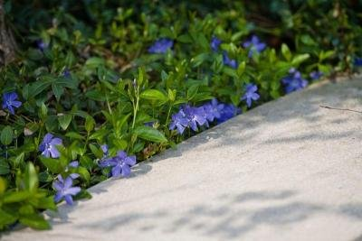 Classy Groundcovers - Periwinkle 'Traditional' Common/Creeping Periwinkle/Myrtle, Creeping Myrtle {50 Bare Root Plants} by Classy Groundcovers (Image #4)