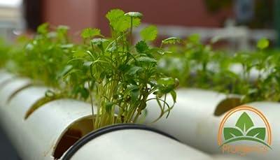 1000 Coriander, Cilantrillo Seeds by Prorganics