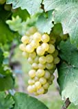 Riesling Emerald Wine Grape Vine - Plantable Year