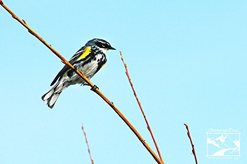 Fine Art Photograph - Male Yellow-Rumped Warbler. Wildlife & Nature Photography from Alberta, Canada