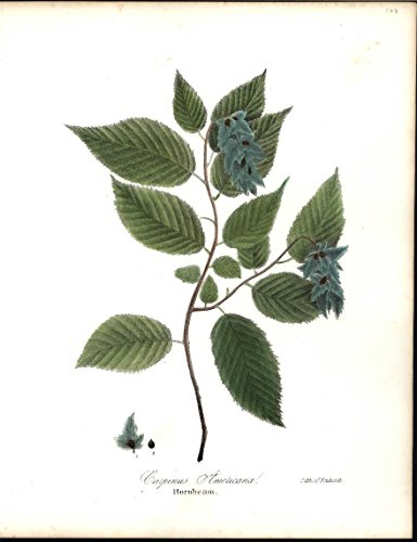 Hornbeam Varied Shade of Leaves Seeds Botany 1843 antique color lithograph print