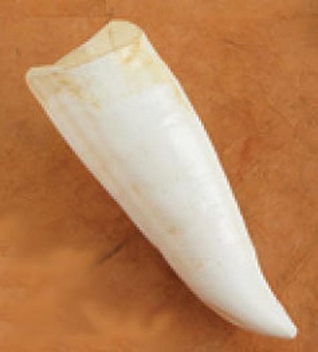 Whale Tooth - Nature-Watch Killer Whale Tooth Replica