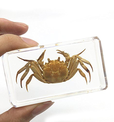 Amazingbug Crab Specimen for Science Education Paperweight for Book for Office for Desk