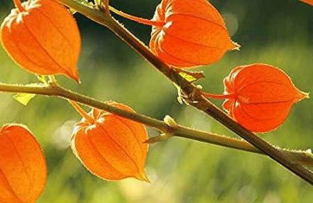 Withania somnifera Ashwagandha 100 seeds Indian Ginseng