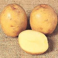 Seed Potato Yukon Gold 1kg