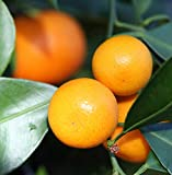 Panama Orange Tree - Calamondin - 10'' Pot - NO Ship to TX, FL, AZ, CA, LA, HI