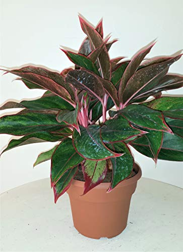 Siam Aurora Chinese Evergreen Plant - Aglaonema - Grows in Dim Light - 6