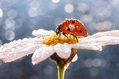 Art Print on Canvas Wall Decor Poster (daisy flower insect ladybug water drops) Size:13x19.5inch