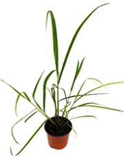 Citronela Común 10cm Planta Natural Cymbopogon Citratus