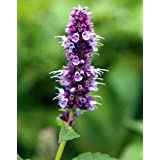 1000 Seeds of Agastache foeniculum, Blue Giant Hyssop, Anise Hyssop, Fragrant Giant Hyssop, Lavender Giant Hyssop