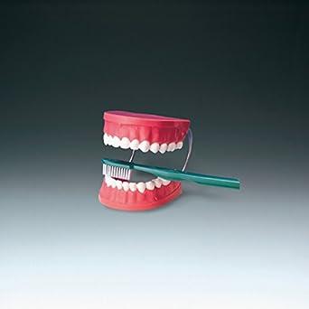 Gráfico Anatómico 000000th01 gigante de cepillado dientes modelo, 15,2 cm tamaño: Amazon.es: Amazon.es