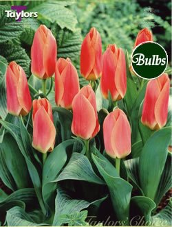 Tulip Dreamboat Bulbs (8 in Pack) by Online Garden Centre